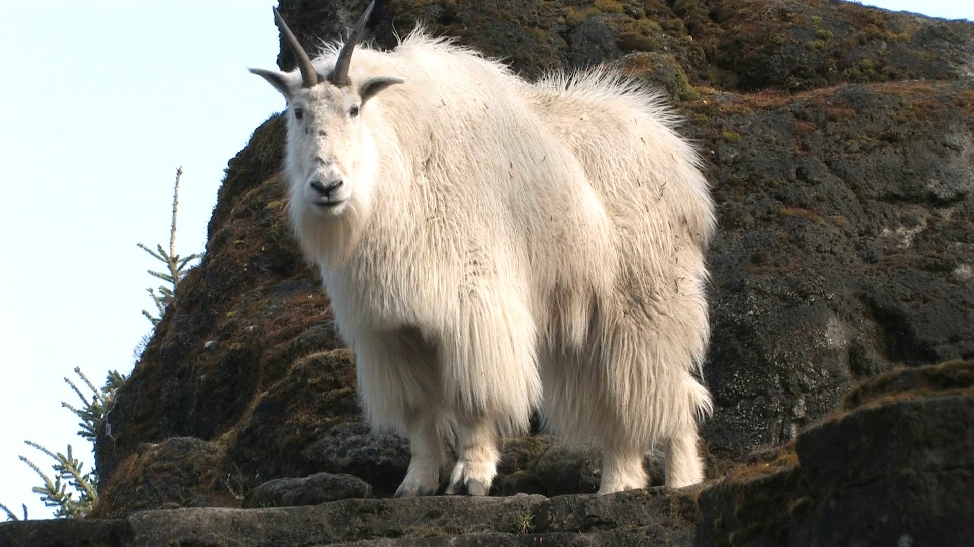 The Incredibly Stealthy Strong Mountain Goat