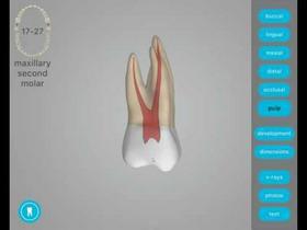Dental Corpus Tooth Anatomy